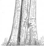 Xylopia katangensis