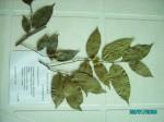 Chaetocarpus africanus