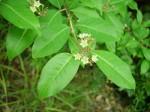 Psorospermum baumii