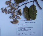 Marquesia acuminata