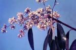 Marquesia macroura