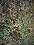 Pelargonium dolomiticum