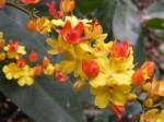 Campylospermum densiflorum