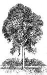 Entandrophragma delevoyi
