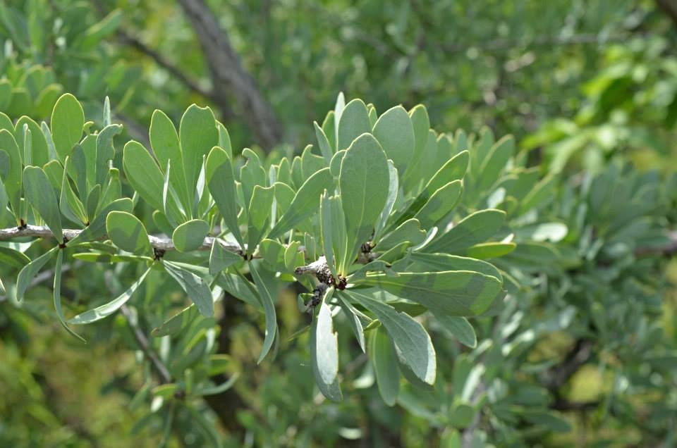 Gymnosporia glaucophylla
