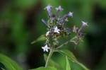 Pentas zanzibarica subsp. zanzibarica var. zanzibarica
