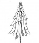 Erythrina baumii