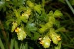 Humularia descampsii var. abercornensis
