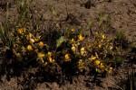 Aeschynomene oligophylla
