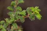 Kotschya recurvifolia subsp. recurvifolia