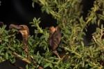 Adenocarpus mannii