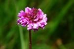 Trifolium simense