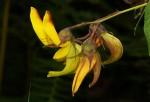 Crotalaria becquetii subsp. turgida