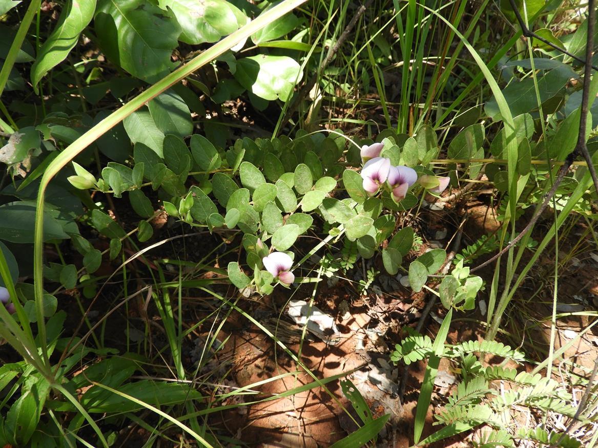 Crotalaria cornetii