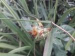 Crotalaria densicephala