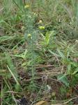 Crotalaria lukafuensis