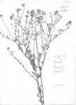 Crotalaria nuda