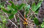 Oldfieldia dactylophylla