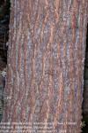 Acacia robusta subsp. usambarensis