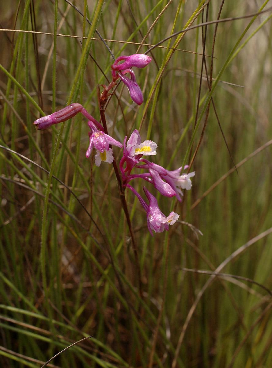 Polystachya songaniensis