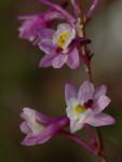 Epiphorella songaniensis