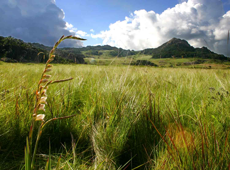 Gladiolus crassifolius (Mt Gorongosa form)