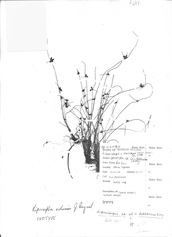 Lipocarpha echinus