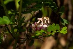 Indigofera roseo-caerulea
