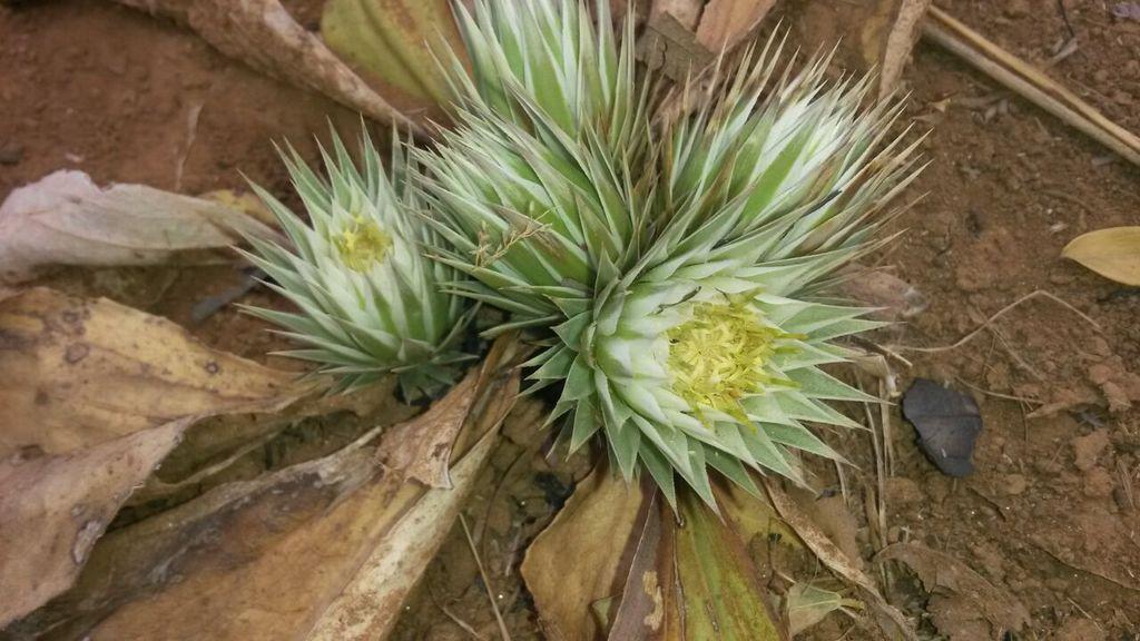 Macledium plantaginifolium