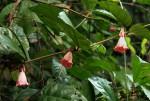 Sherbournia bignoniiflora var. bignoniiflora