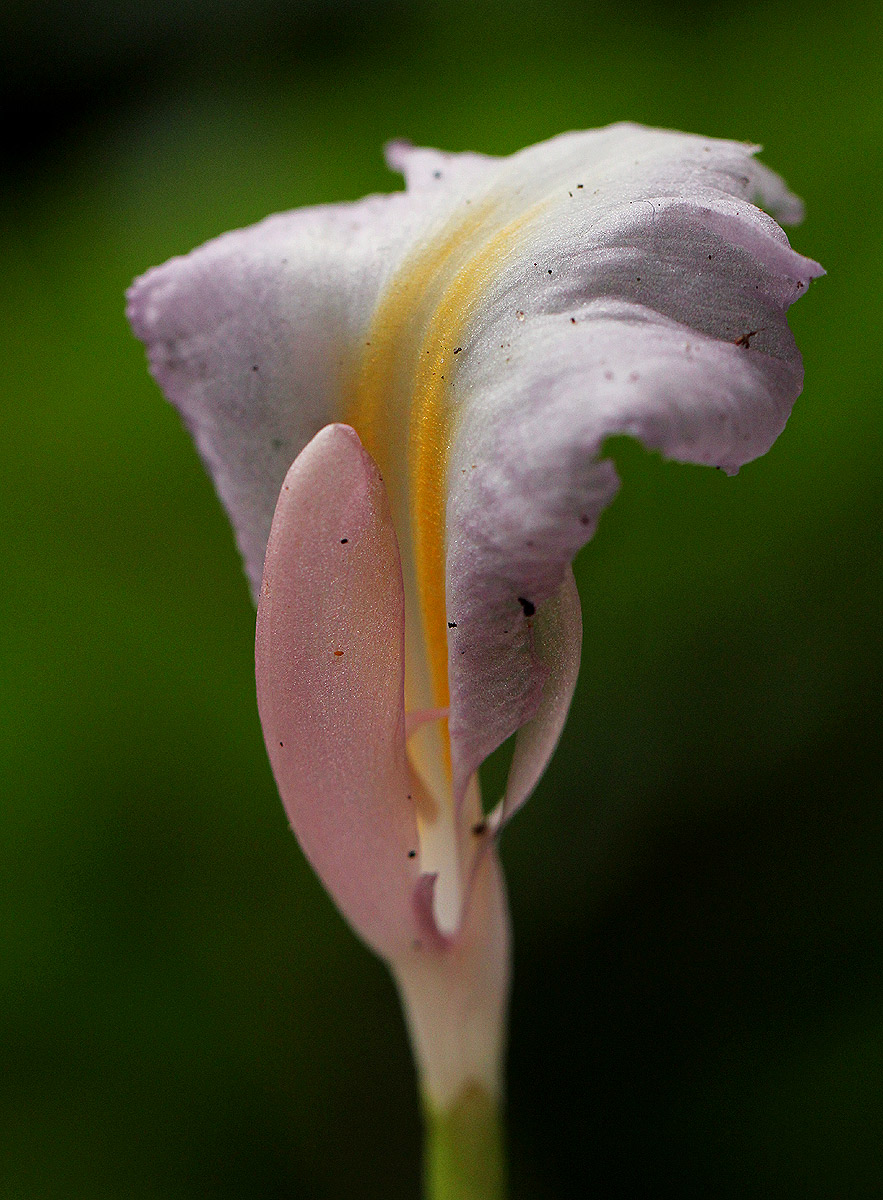 Aframomum alboviolaceum