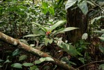 Stipularia africana