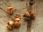 Eriocoelum lawtonii