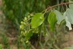 Ozoroa longipes