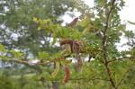 Acacia swazica