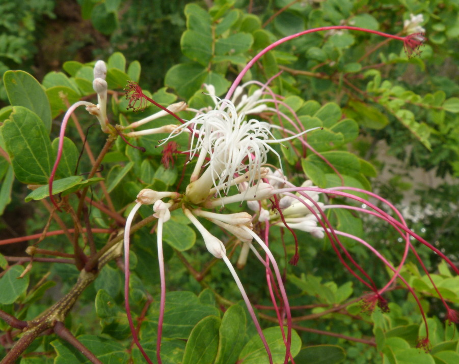 Albizia petersiana subsp. petersiana