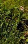 Carduus nyassanus