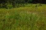 Cirsium  buchwaldii