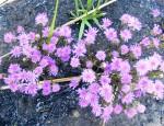 Vernonia denudata