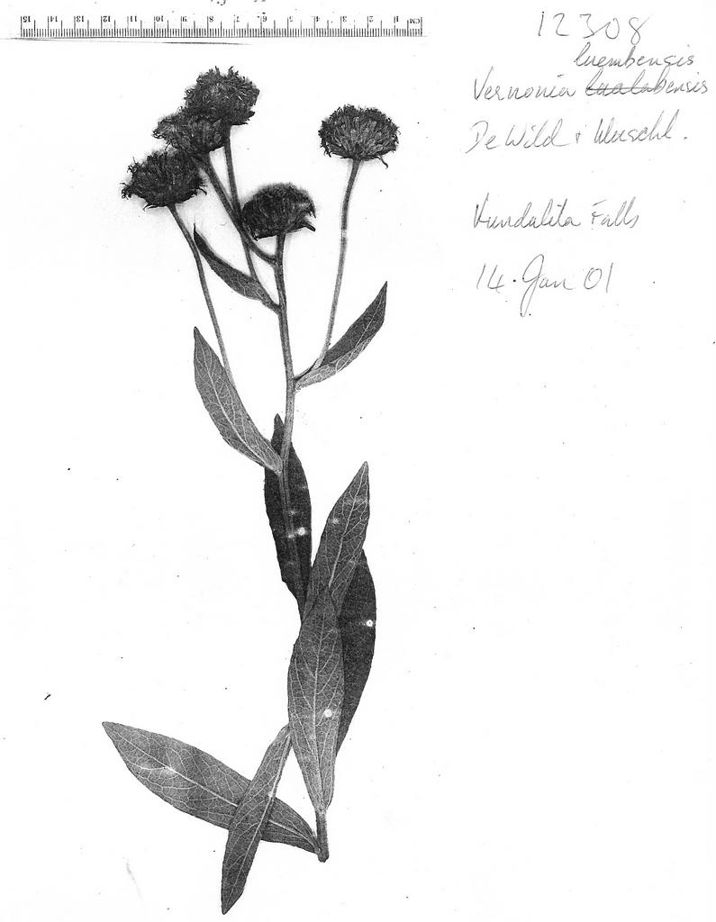Vernonia luembensis