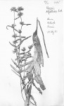 Vernonia polysphaera