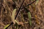Bothriocline longipes