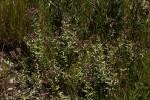 Ageratinastrum polyphyllum