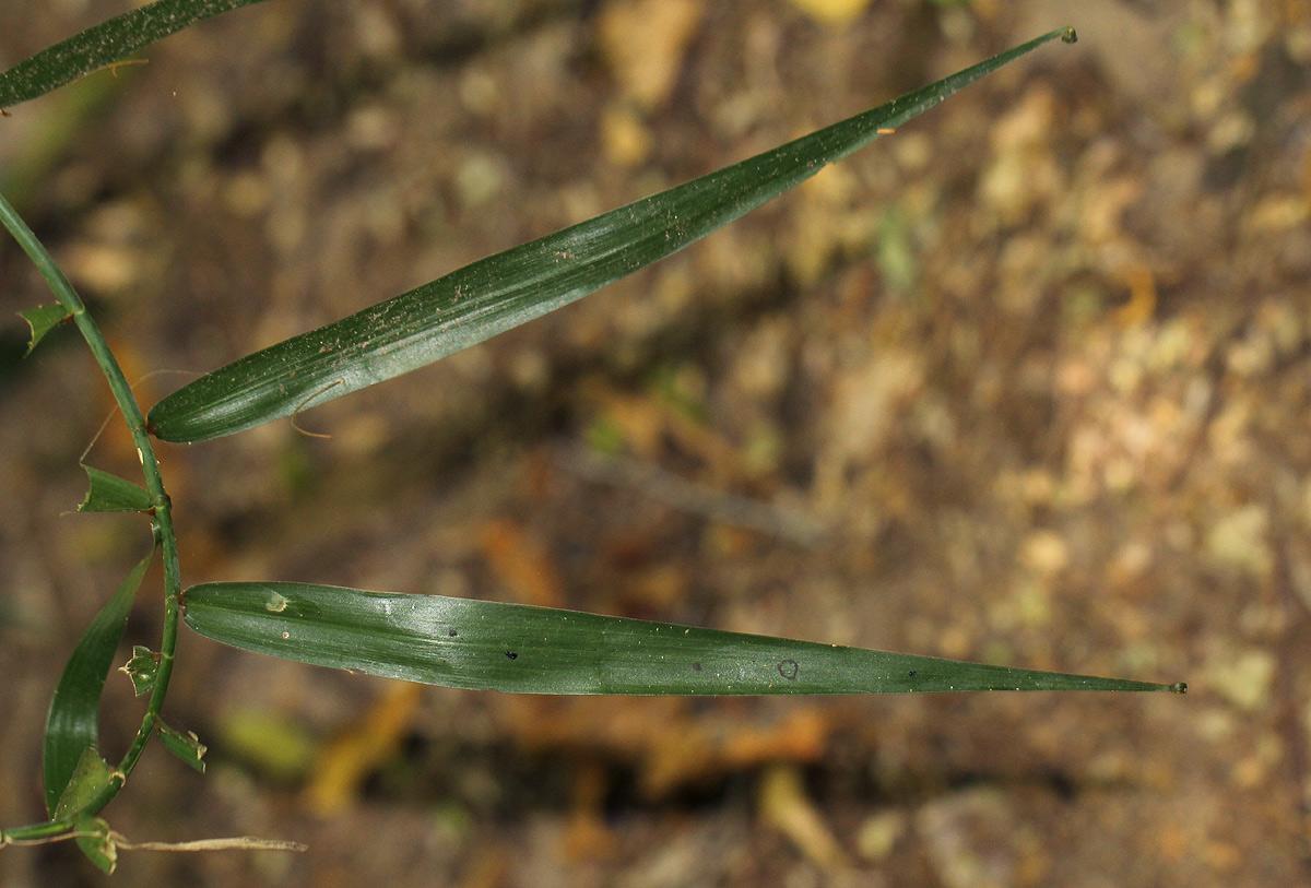 Flagellaria guineensis