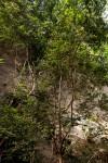 Diospyros natalensis subsp. natalensis