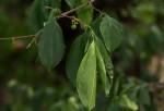 Vangueria cyanescens