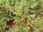 Tapiphyllum discolor