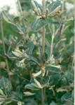 Fadogiella rogersii