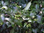 Heinsia crinita subsp. crinita