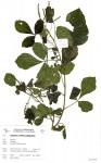 Allophylus rubifolius var. alnifolius